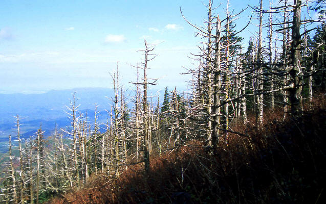 Appalachain Trail and dead conifers