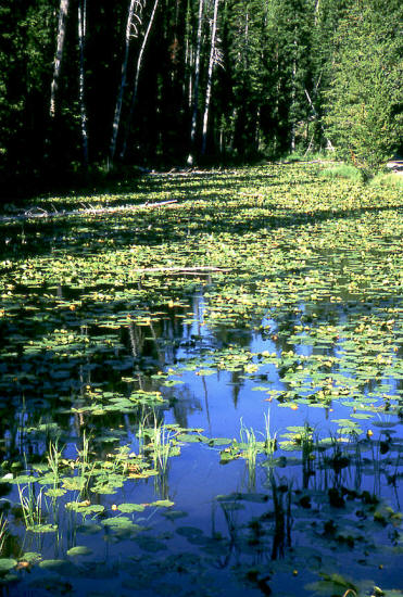 Lilly Pads on pond in Yellowstone NP