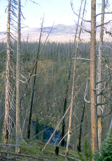 Burned trees from the 1988 Yellowstone NP fire