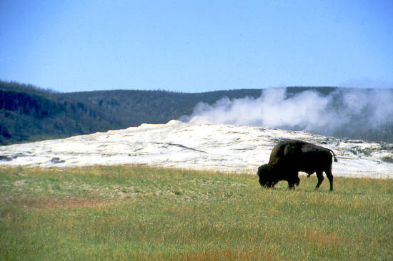 Buffalo next to Old Faithful