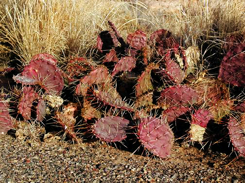 Hedge Hog cactus