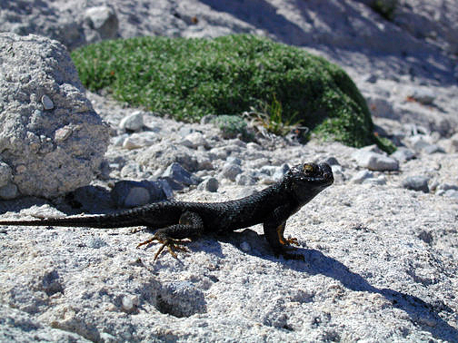 Black lizard at Crystal Peak