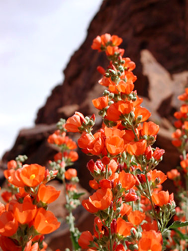 Globe Mallow along Highway 128